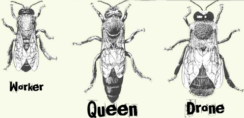Image result for drone bee diagram